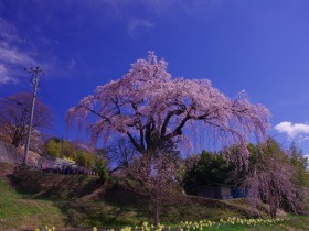 笹見平の桜②