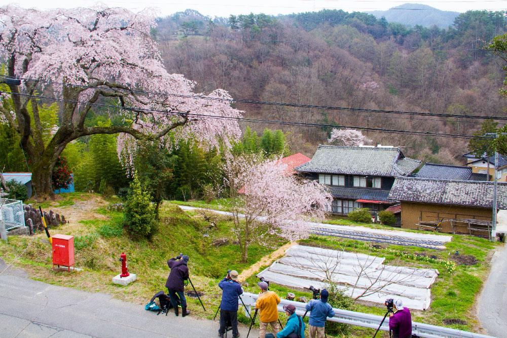 桜ー1206(笹見平)